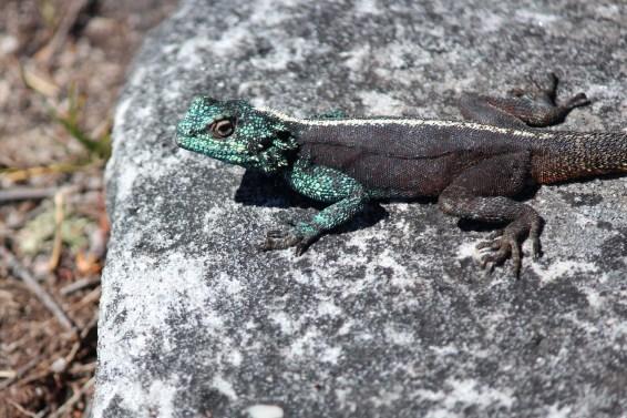 Le Gecko..