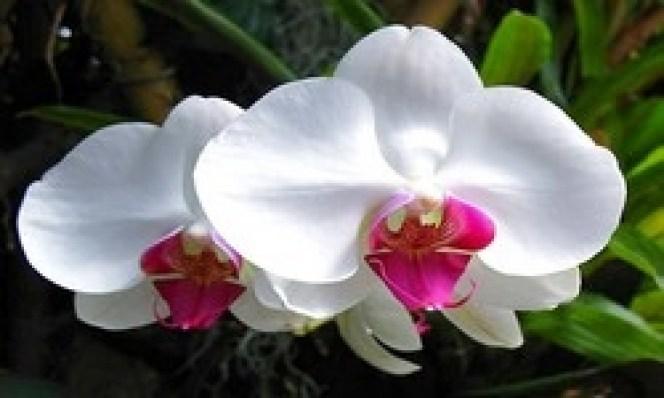 L orchidée la déesse des fleurs  a.jpg
