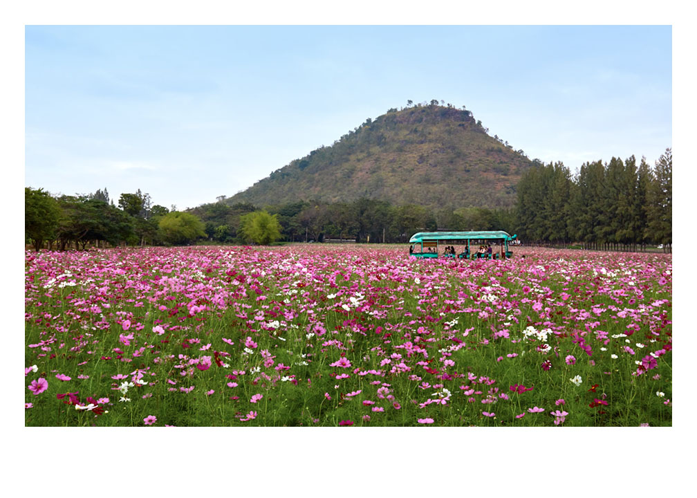 Field of flowers at Jim Thompson farm Thailand Fine Art Print