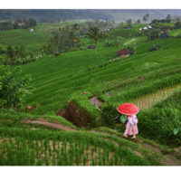 A tourist takes a walk through the Jatiluwih rice terraces. Bali, Indonesia Fine Art Print