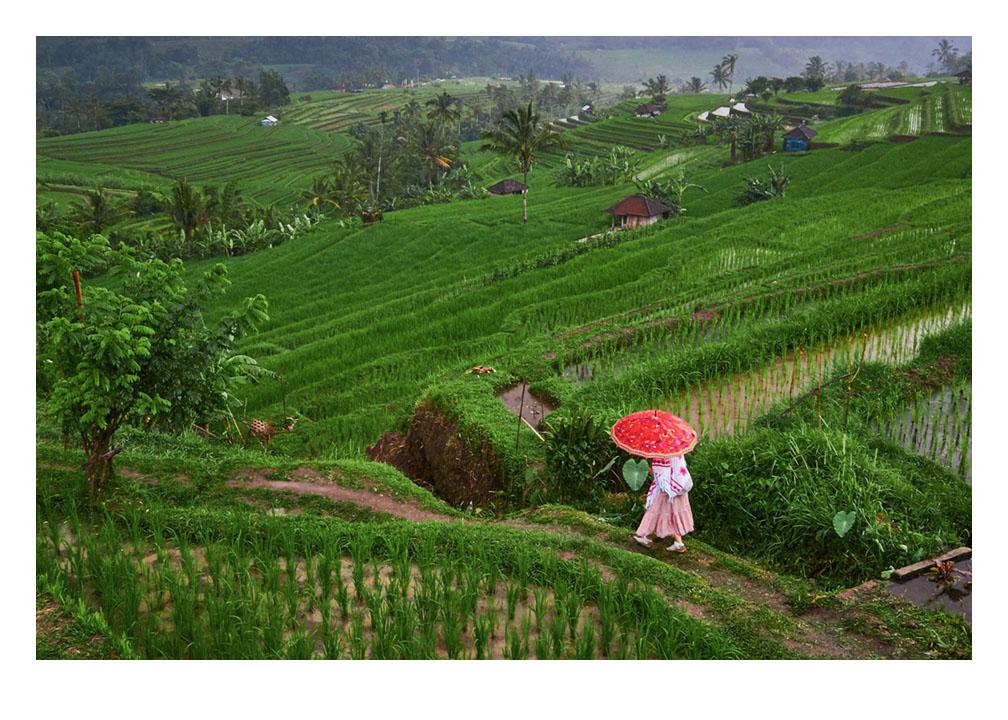A tourist takes a walk through the Jatiluwih rice terraces. Bali, Indonesia Fine Art Print