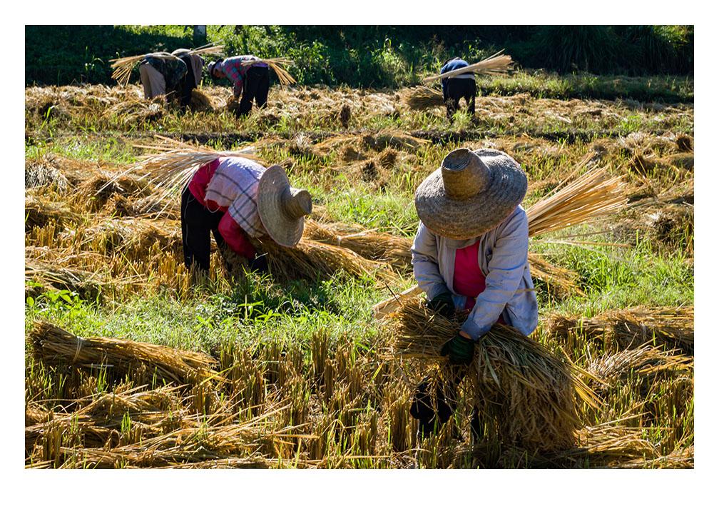 Print of Rice Harvesting