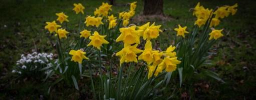 Daffodils near Usk