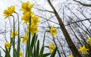 Daffodils near Chainbridge