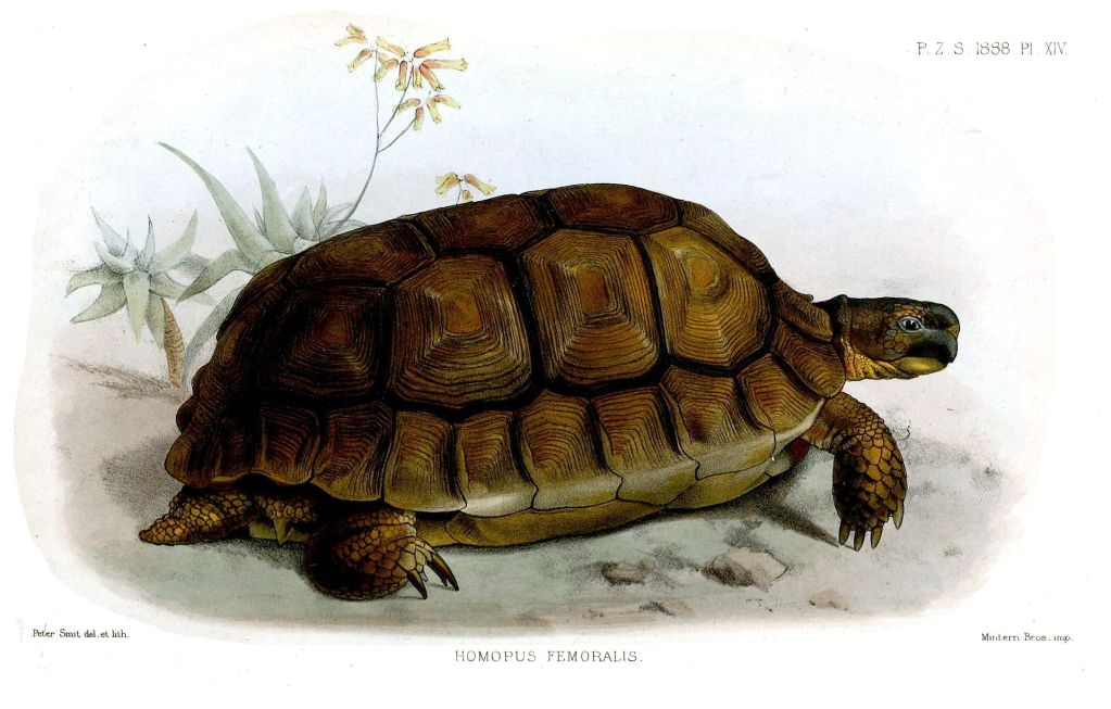 An engraving of a turtle