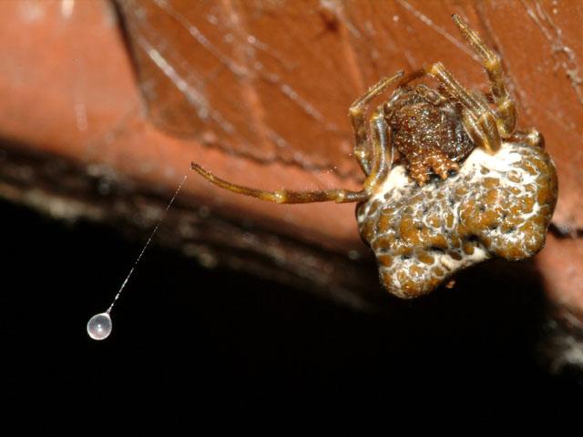 Bolas Spider Mastophora Cornigera