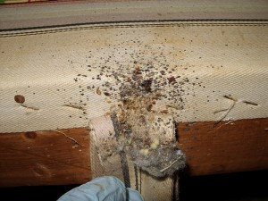 bed bugs-2