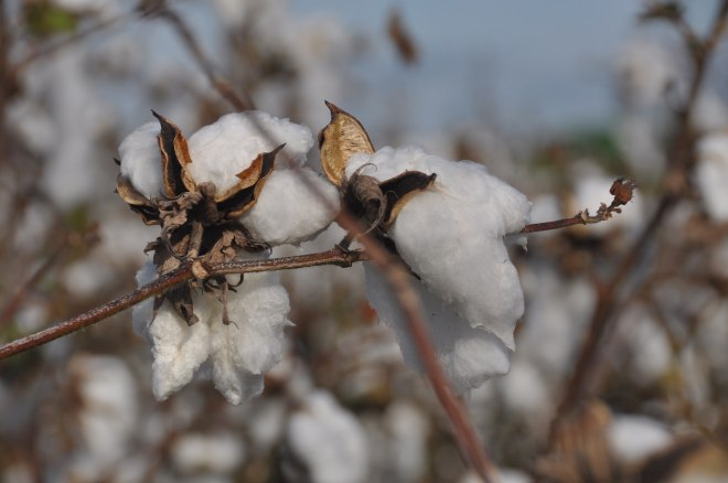 cotton with debris