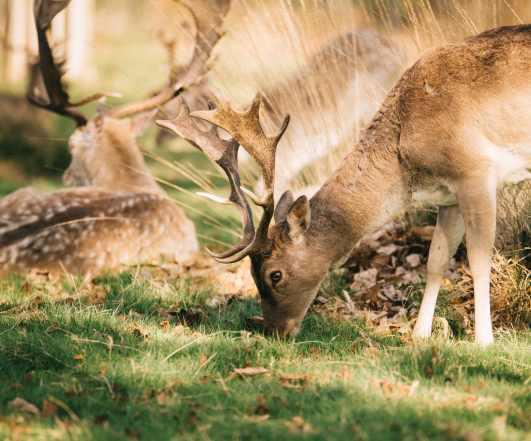 richmond london deers photography park