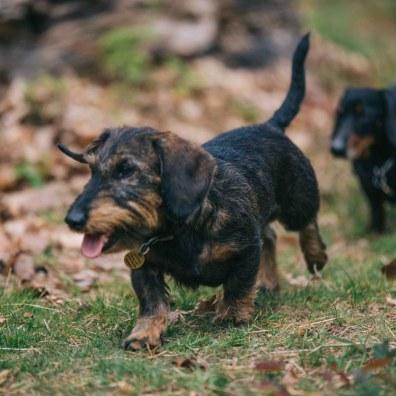 sausage dogs-37