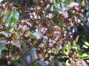 Lychee blommor