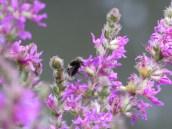 Diptera on Purple Loosestrife