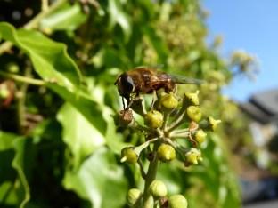Diptera on ivy
