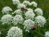 Apiaceae with Honeybee