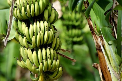 free trade, and economic globalization, keeps banana republics poor