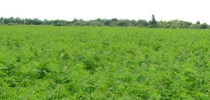 Legalizing Weed: What Is Industrial Hemp?