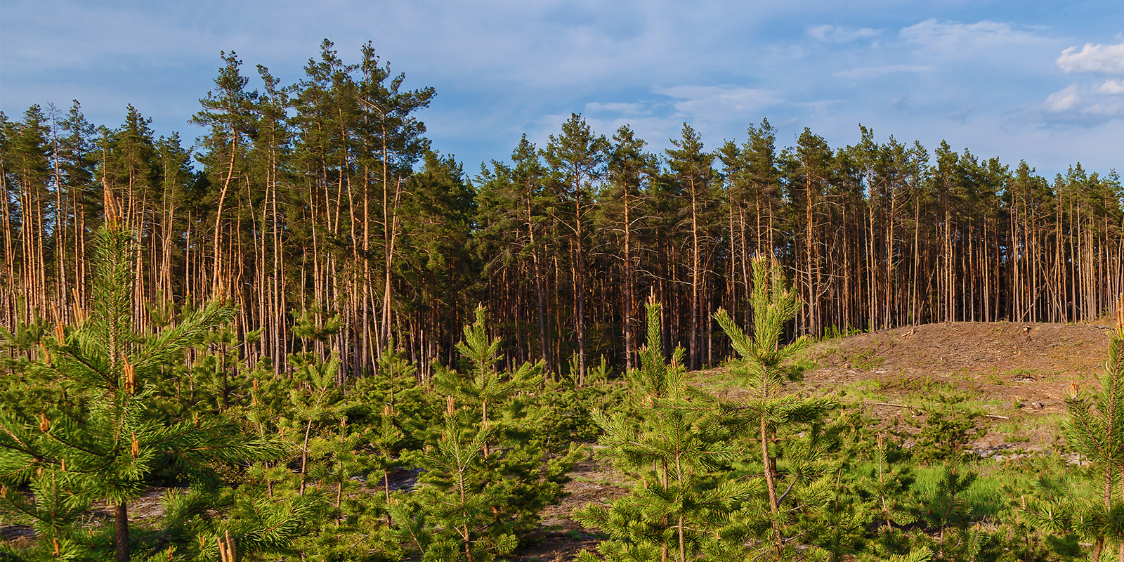 Harvesting Cash from Public Tree-Growing Firms