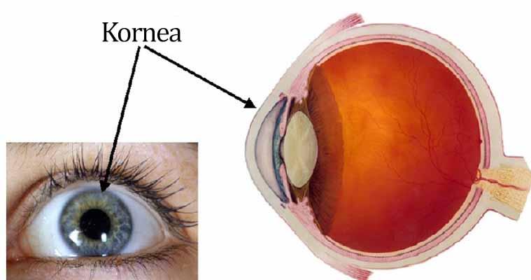 kornea - bagian mata