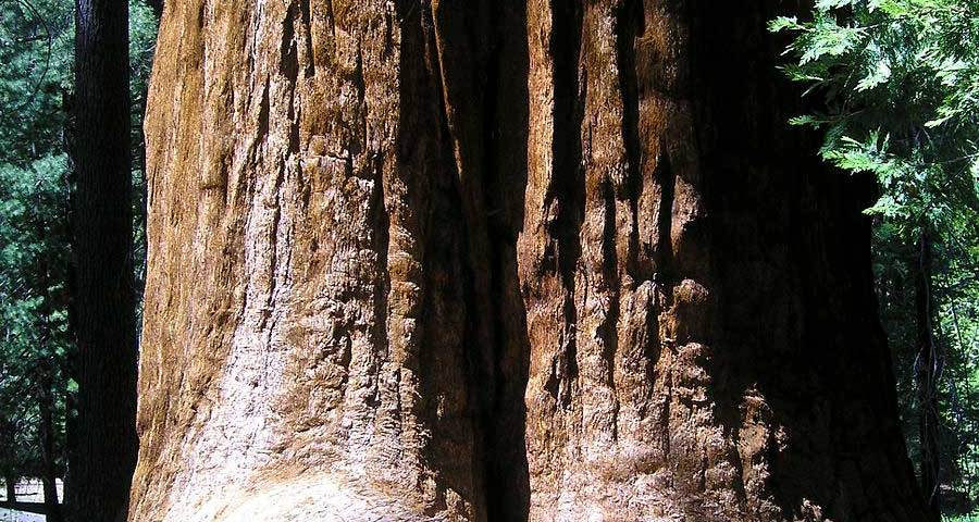 giant sequoia dog info
