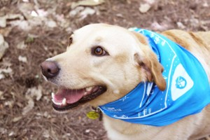 national park paws bandana on lab