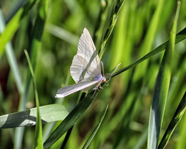 Pequest Moth