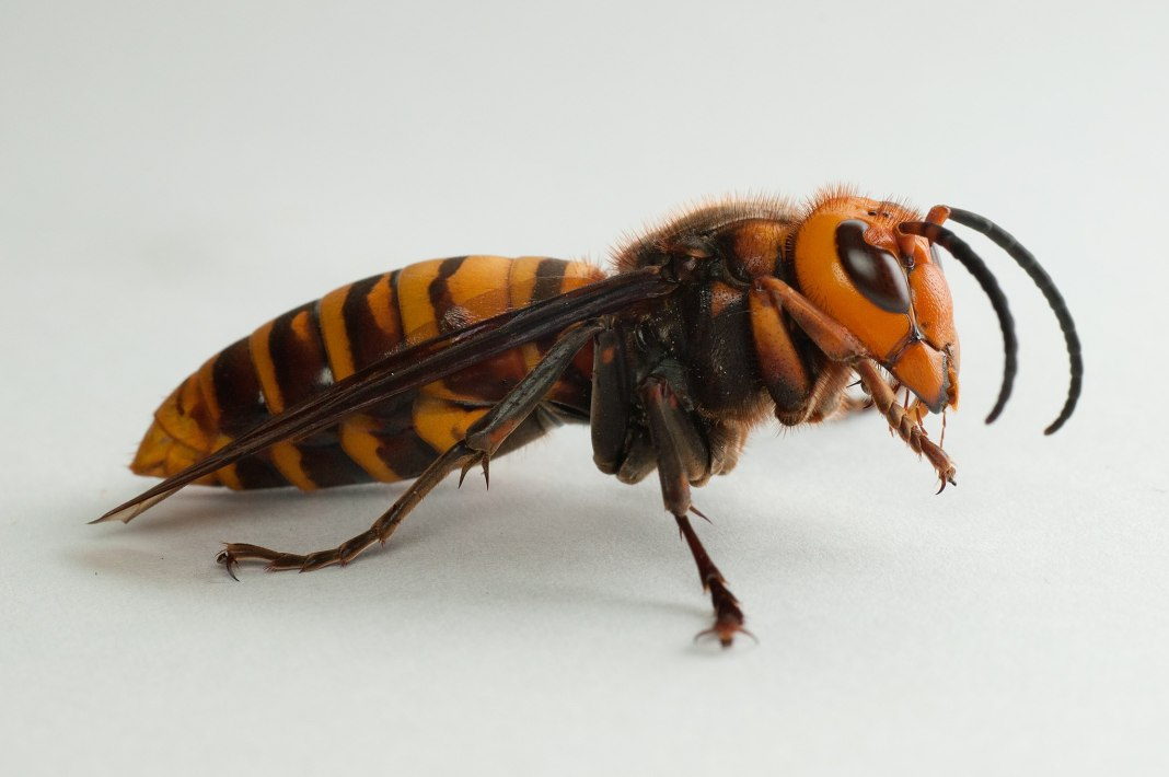 giant-asian-murder-hornet-spotted-in-north-america