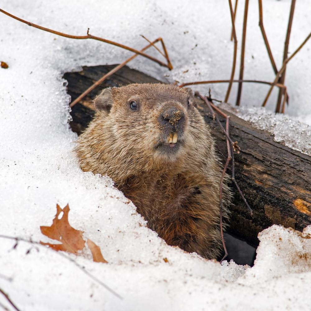 medium resolution of GROUNDHOG DAY - February 2