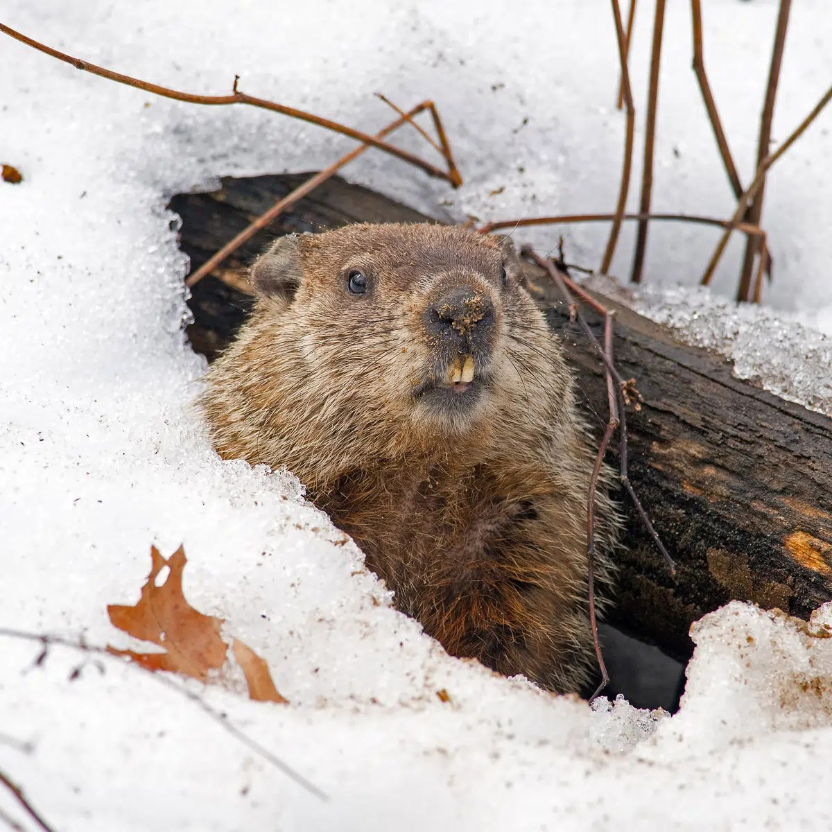 hight resolution of GROUNDHOG DAY - February 2
