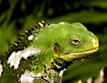 tn-iguana program