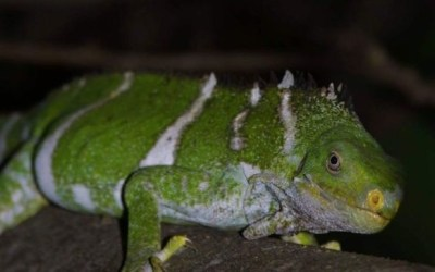 NTF Iguana Ranger Interviewed by Radio Australia
