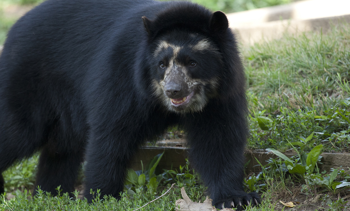 Andean Bear Smithsonians National Zoo