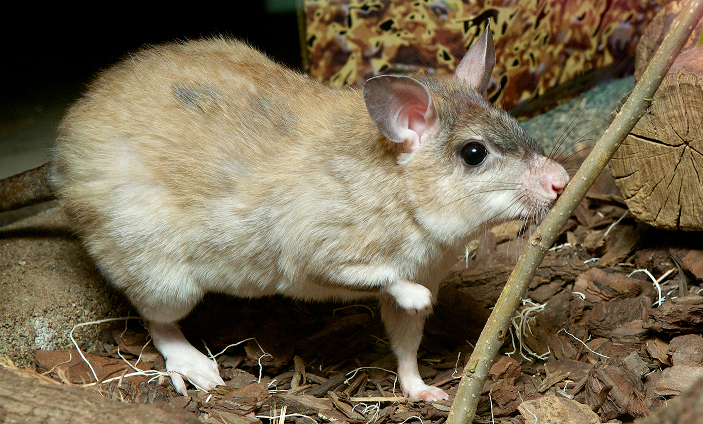 Malagasy Giant Jumping Rat Smithsonians National Zoo