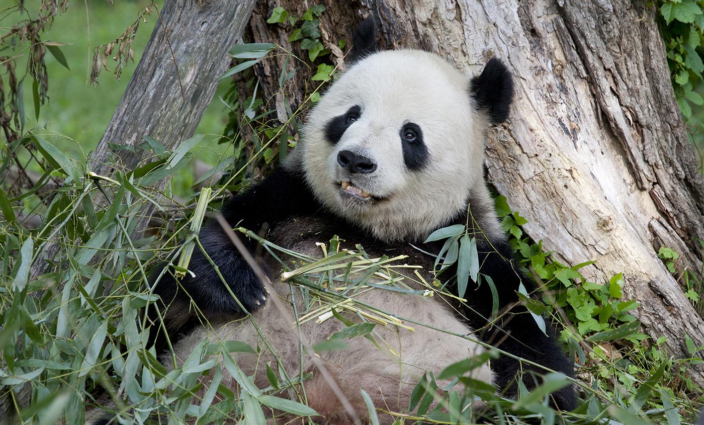 Small Cute Baby Kissing Wallpaper Giant Panda Smithsonian S National Zoo