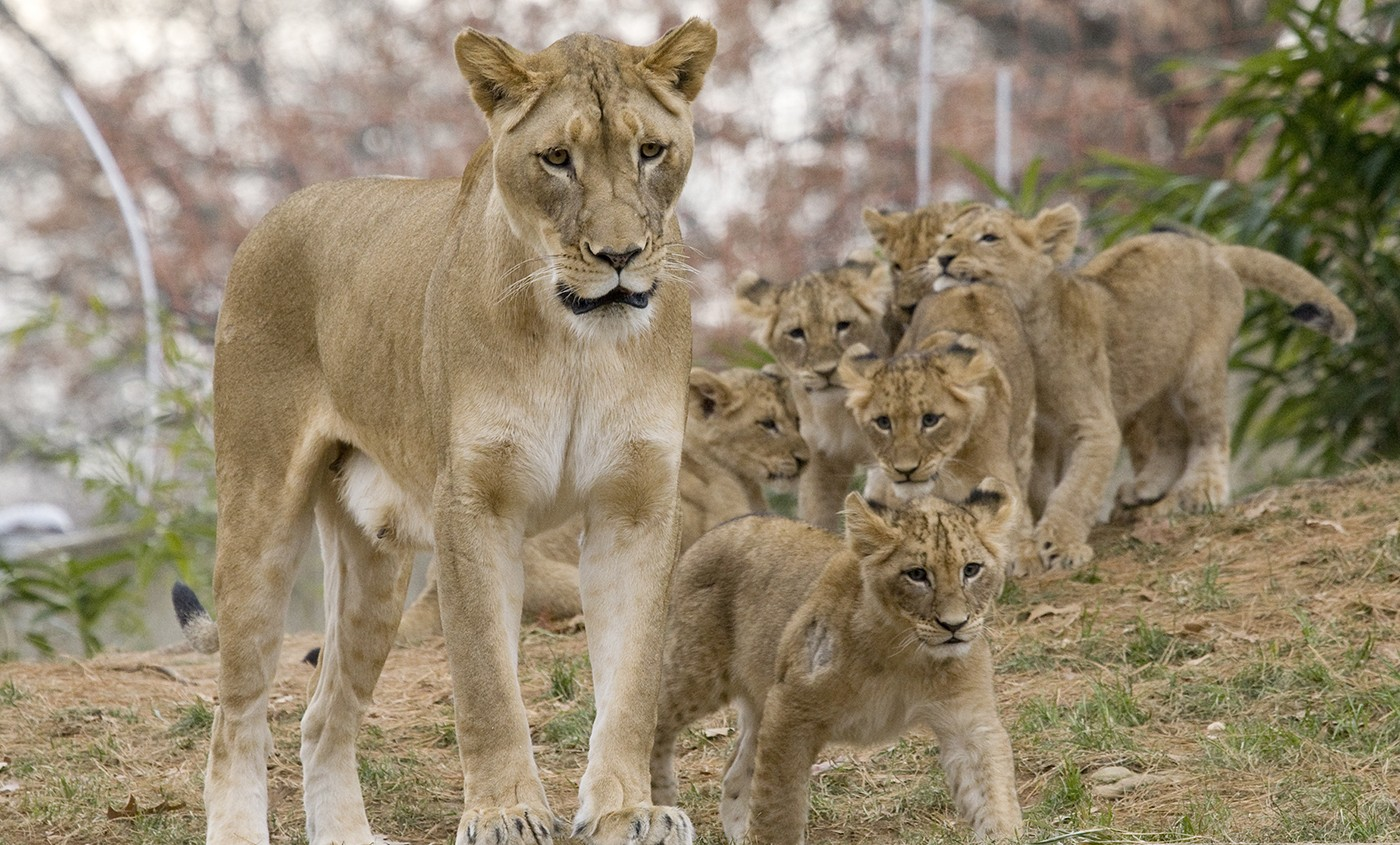Lion Smithsonian S National Zoo