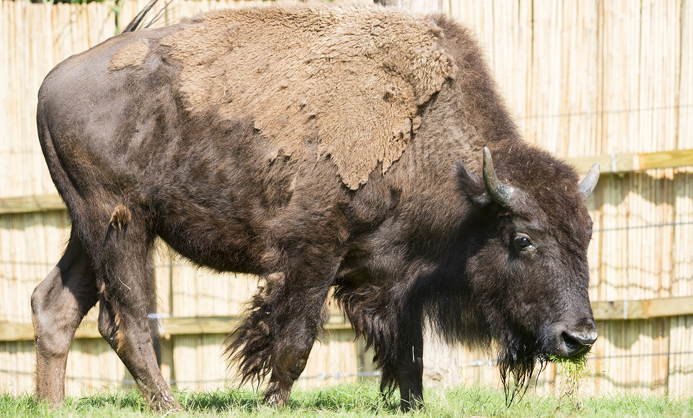 it s bison not
