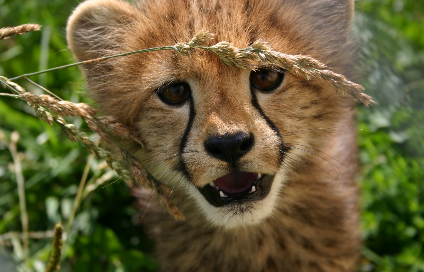 cheetah conservation community bolsters