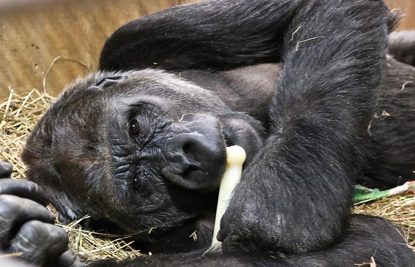 gorillastory moke makes moves