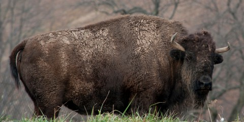 american bison smithsonian s