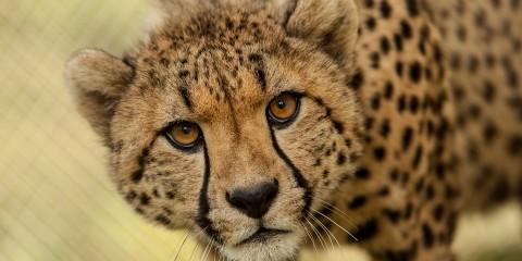cheetah smithsonian s national