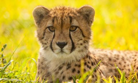 why do cheetahs have