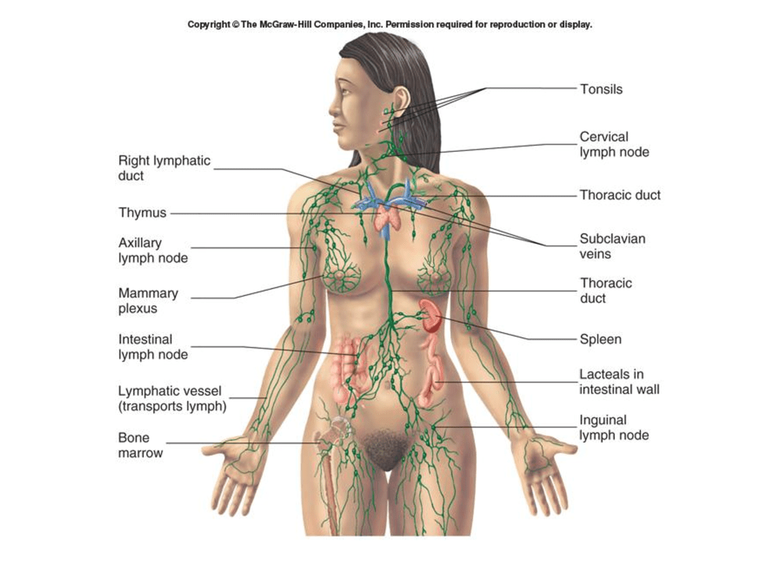 Lymph Nodes and Your Deodorant