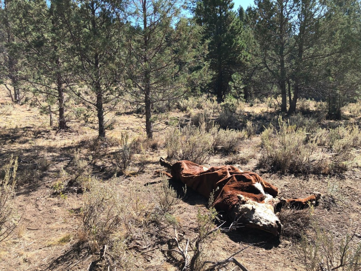 Cattle Mysteriously Mutilated In Oregon: 'Not One Drop Of Blood'