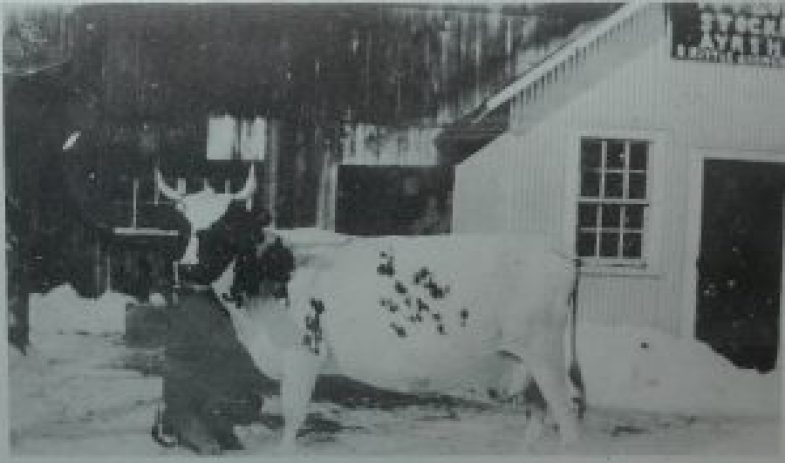 The Kittle family of Chesterville, accomplished Ayrshire breeders, bought this animal, Masters Bonnie from Duncan Porteous of Ormond in 1926. The superior cow produced 12,000 pounds of milk during one of her lactations. Source: Grenville-Dundas Ayrshire Breeders' Club 1916-1976.