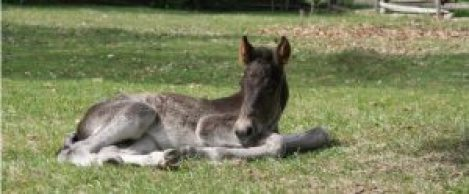 This is the first Canadian foal born at Upper Canada Village this year, arriving May 25. Courtesy photos.