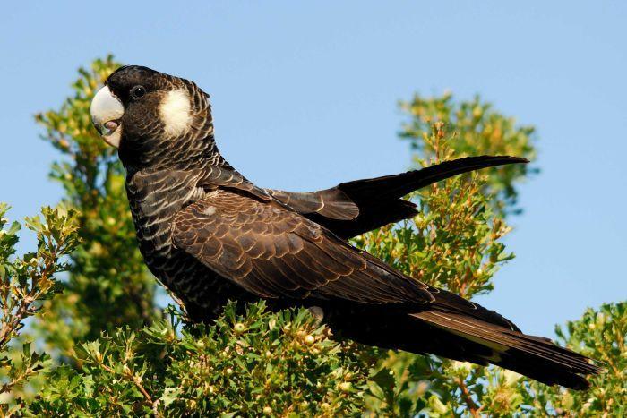 Carnaby's Black Cockatoo
