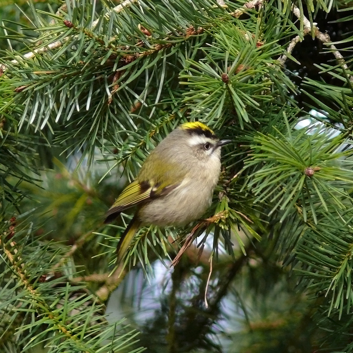 Golden Crowned Kinglet    photo by Andrew Reding