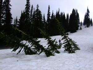 subalpine fir abies lasiocarpa