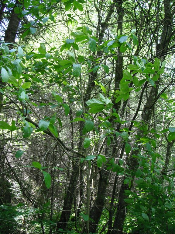 Broadleaved Trees  Native Plants PNW