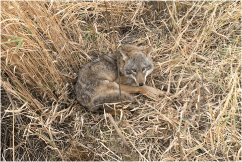 Gender Differences in Coyote Movement and Resource Use in a Mid