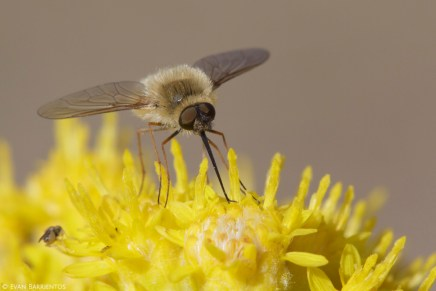 Beeflies (Bobylius sp.) are adorable flies that specialize on drinking nectar.